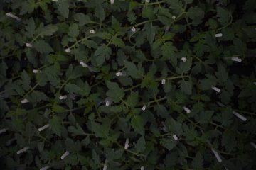 Kalemljene sadnice